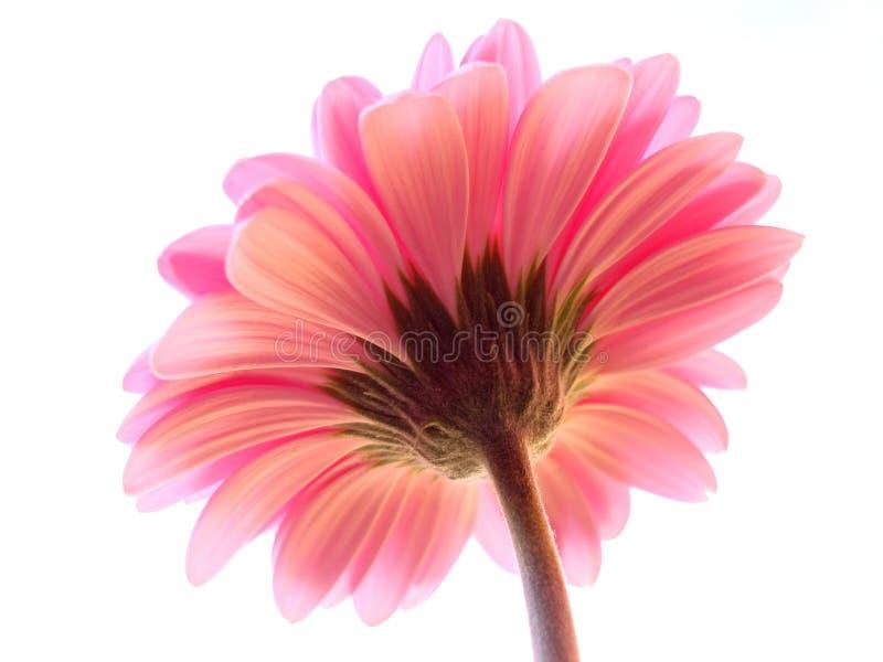 Een perspectief dat van een roze gerbera is ontsproten stock foto's