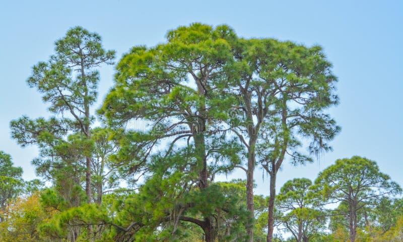 Een Pijnboomboom in Cedar Point Environmental Reserve, Sarasota-Provincie Florida stock foto