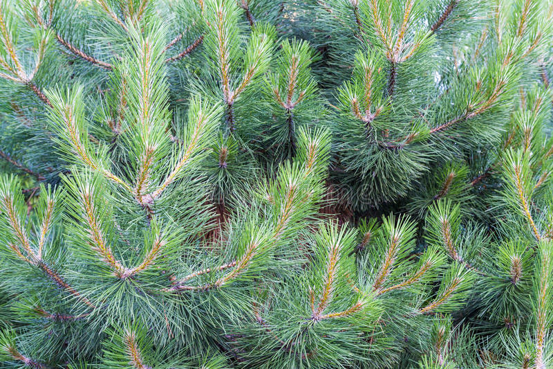 Een pijnboomtak Een naaldboom De jonge groene naalden op de boom in de maand van Juni royalty-vrije stock foto's