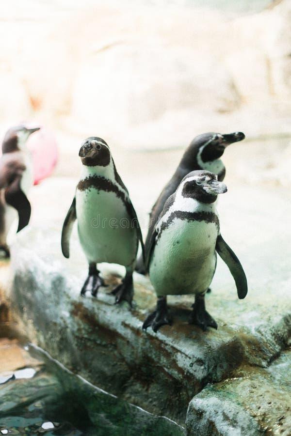 Een pinguïn in een dierentuin die bij de camera met andere pinguïnen staren stock foto's