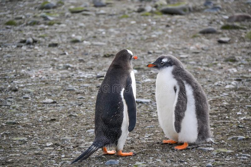 Een pinguïn en een kuiken die zich naast elkaar bevinden stock foto's