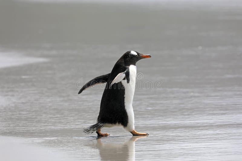 Een pinguïn loopt in de ondiepe branding op het strand in de Hals op Saunders-Eiland, Falkland Islands royalty-vrije stock foto