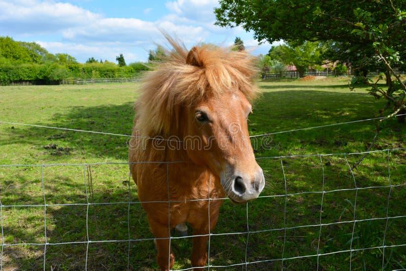 Een poney die over omheining turen stock afbeelding