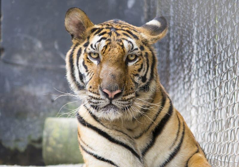 een portret van de tijger die van Bengalen de camera bekijken royalty-vrije stock afbeelding