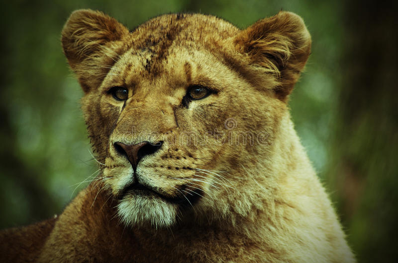 Een portret van een Leeuwin royalty-vrije stock foto