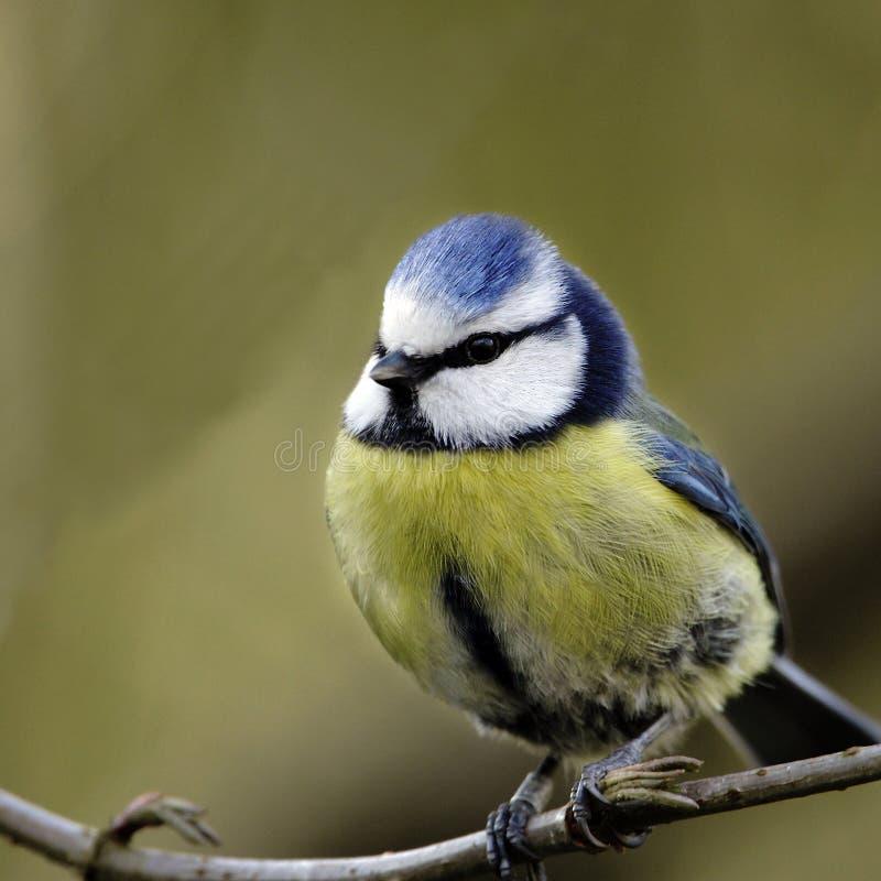 Een portret van een volwassen Blauwe Mees (Parus-caeruleus). stock foto