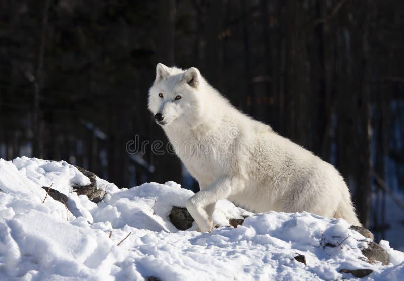 Een Portret van een eenzame Noordpoolwolf die zich op een rotsachtige klip bevinden die over zijn grondgebied in de winter in Can stock fotografie