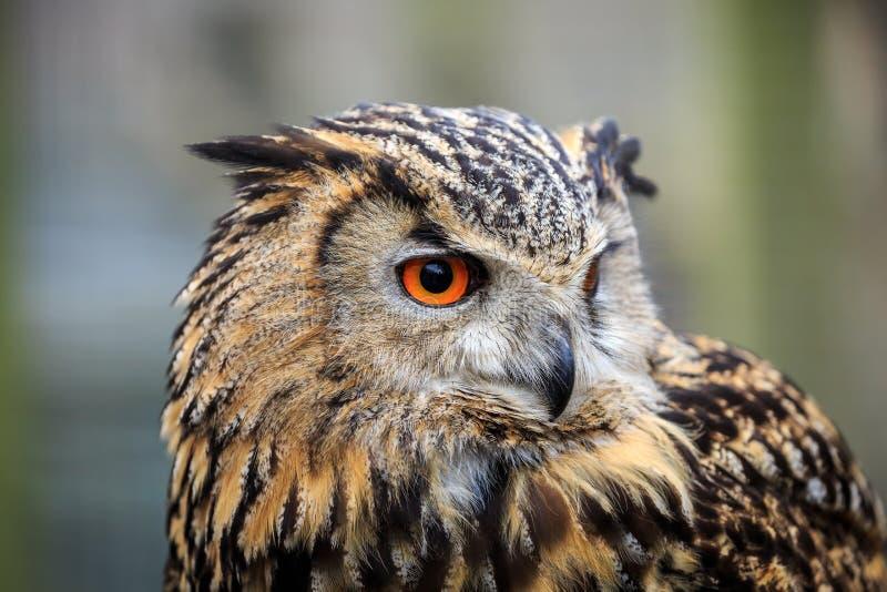 Een portret van Europees-Aziatisch Eagle Owl stock foto's