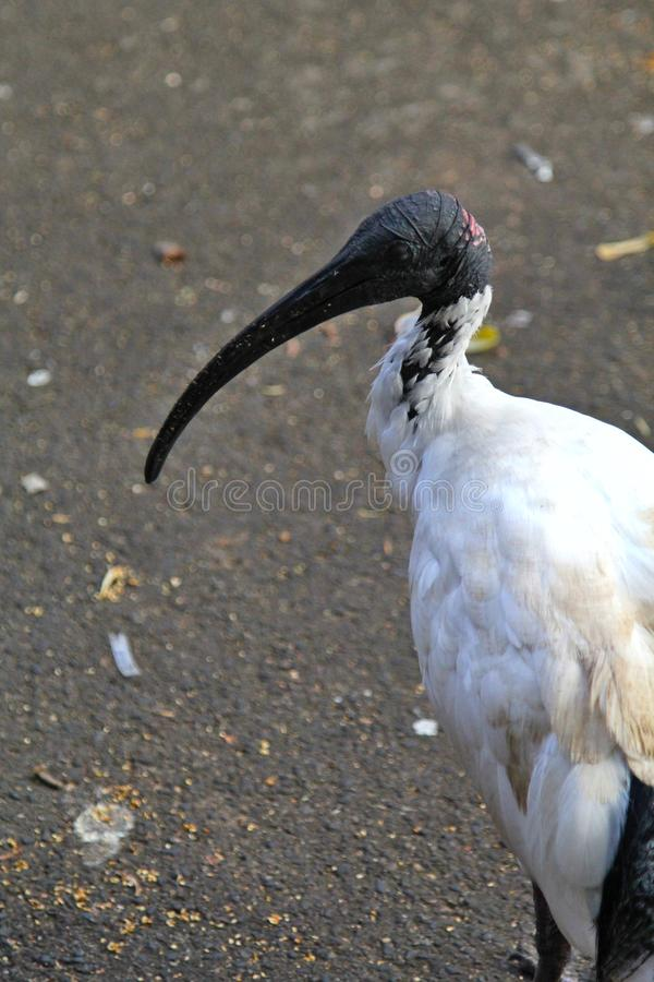 Een portret van een Ibisvogel die wordt geschoten royalty-vrije stock afbeeldingen