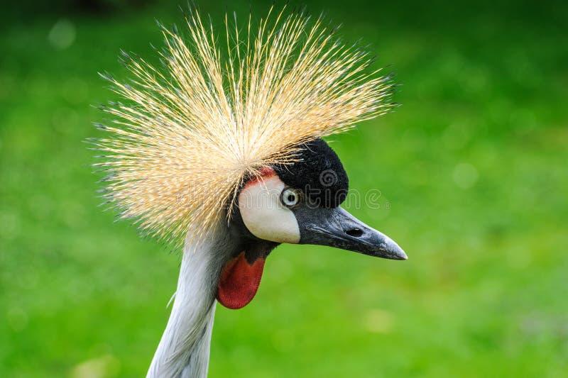 Een portret van mooi Grey Crowned Crane stock foto
