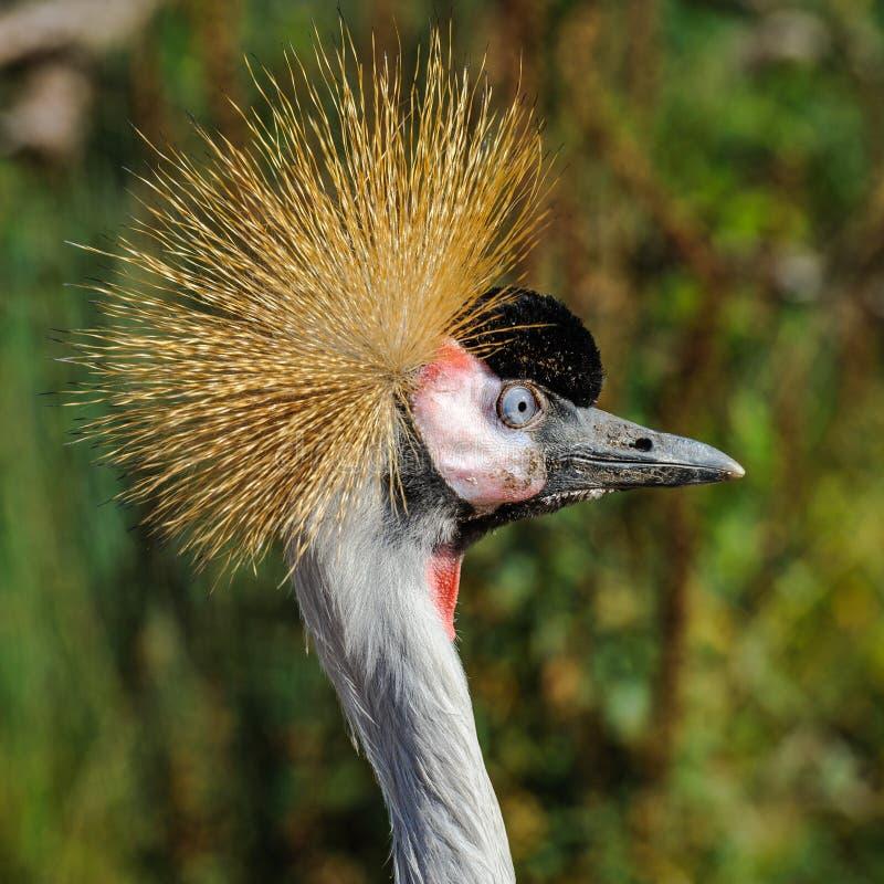Een portret van mooi Grey Crowned Crane stock foto's