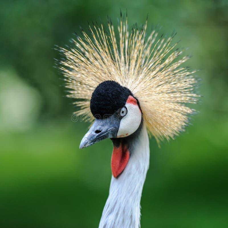 Een portret van mooi Grey Crowned Crane stock fotografie