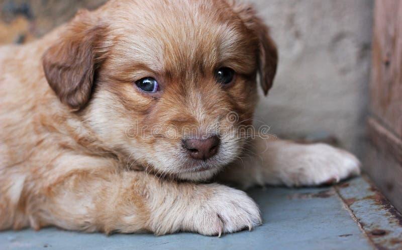 Een portret van een rood haired puppy stock foto