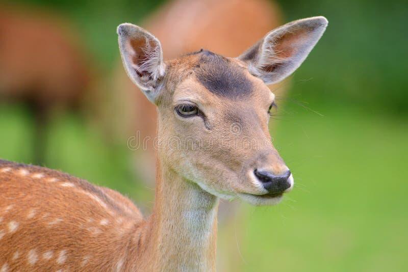 Een portret van een rood hert royalty-vrije stock afbeeldingen