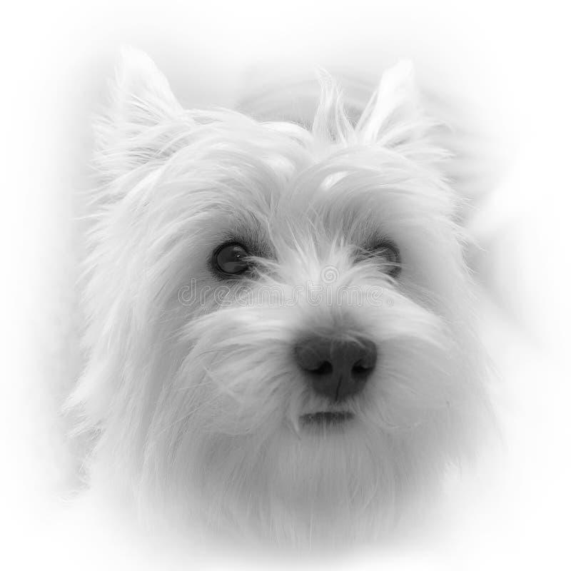 Een portret van westy. stock afbeelding
