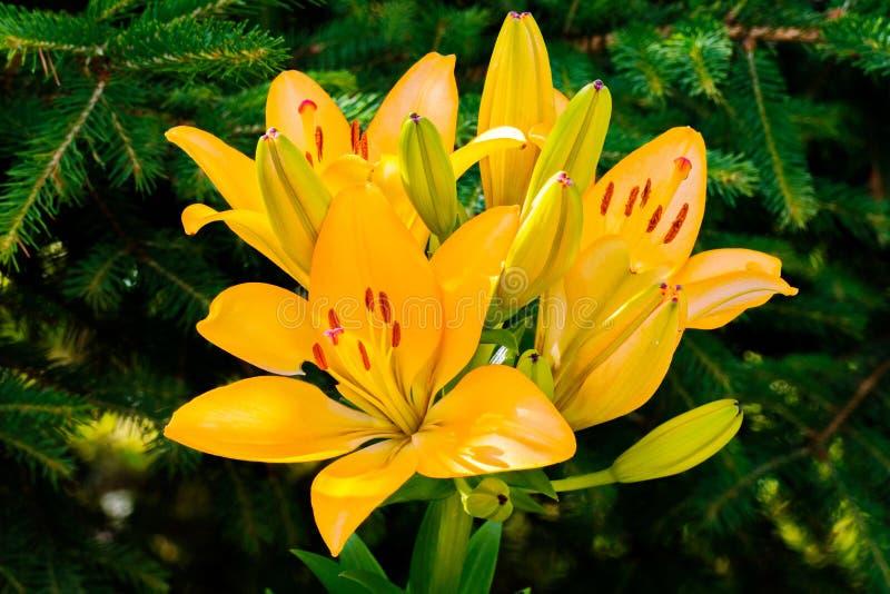 Een prachtige gele lelie met bloeiende nog niet geopende bloemblaadjes en groenachtige knoppen royalty-vrije stock afbeeldingen