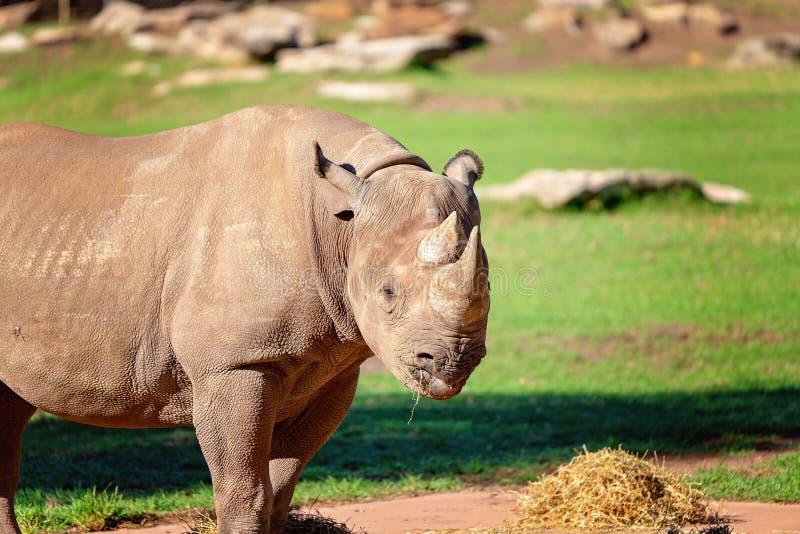 Een Prachtige Witte Rinoceros royalty-vrije stock foto