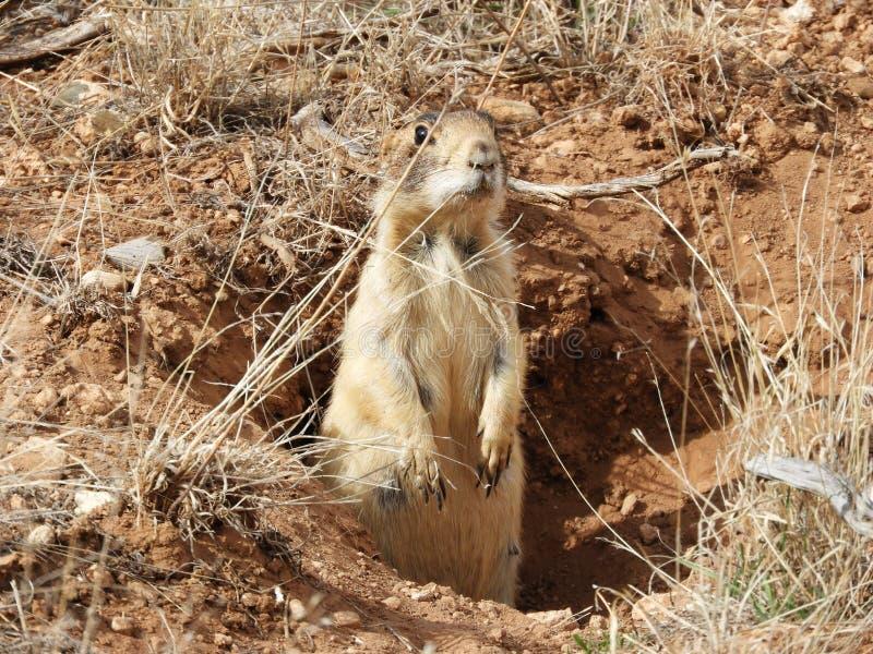 Een prairiehond die zich in gat in Bryce Canyon Park Utah bevinden stock afbeelding