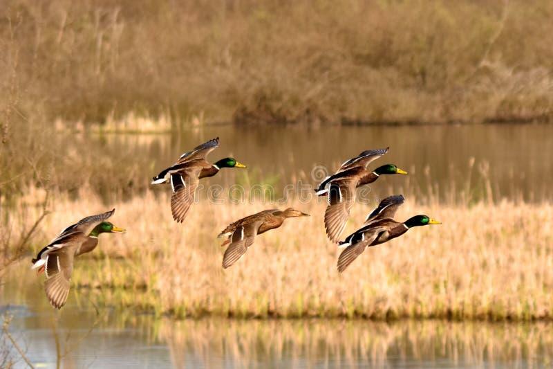 Een proefeend glijdt aan het meer uit royalty-vrije stock foto