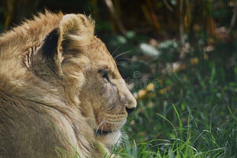 Een profiel van een jonge Leeuwin die van de zon genieten stock afbeeldingen