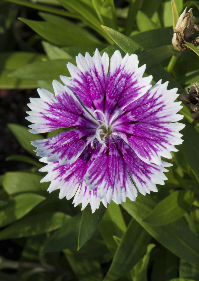 Een purper en wit omzoomd bloemblaadje met dauw daalt, dianthus royalty-vrije stock foto's