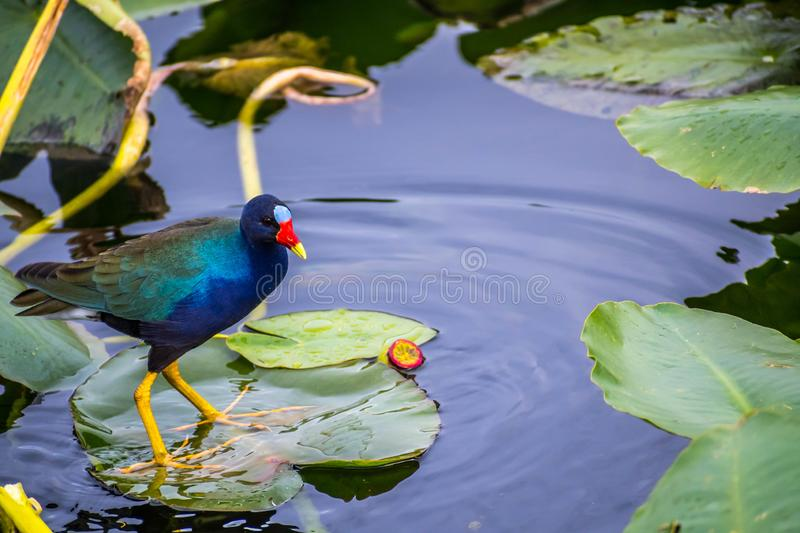Een Purpere Gallinule in het Nationale Park van Everglades, Florida stock foto