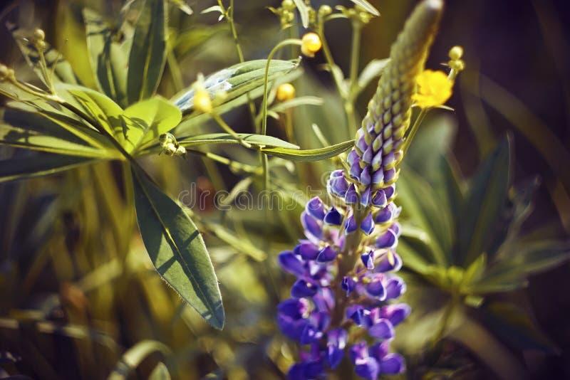 Een purpere Lupine-bloem onder de gele bloemen van een wilde Boterbloem royalty-vrije stock foto
