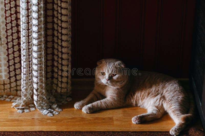 Een rasechte room-gekleurde kat royalty-vrije stock afbeelding