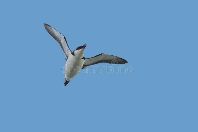 Een Razorbill-alk, zeevogel, Alca-torda, tijdens de vlucht royalty-vrije stock foto