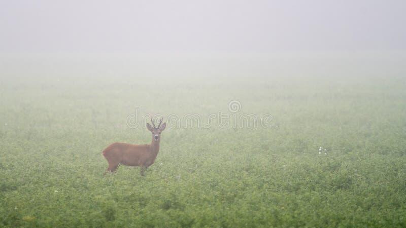 Een ree op een gebied in een mistige ochtend stock fotografie