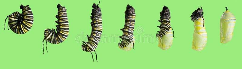 Een reeks foto's De transformatie van de monarchvlinder stock foto