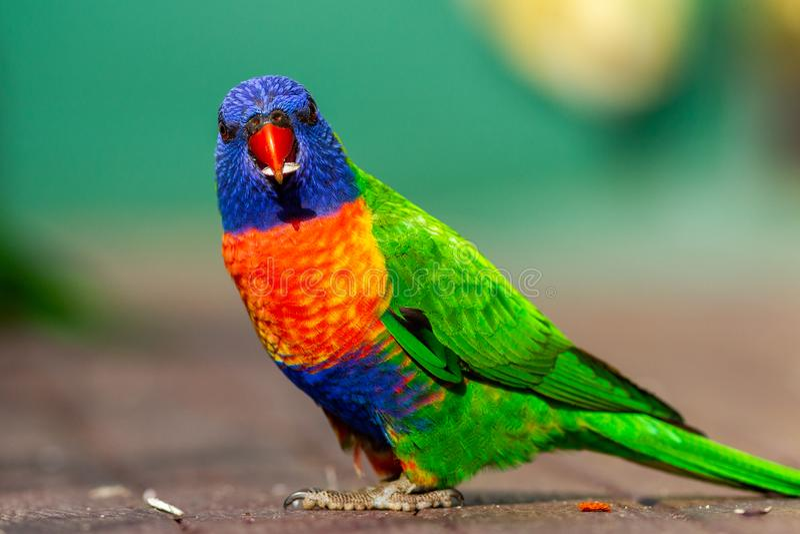 Een regenboog die lorikeet zaad met een groene achtergrond in lithgo eten royalty-vrije stock foto's