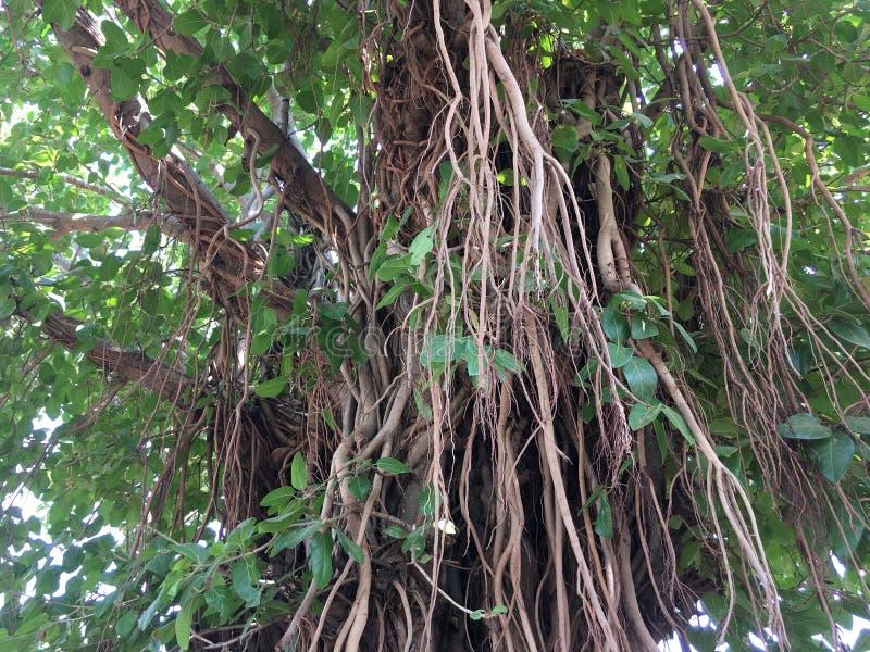Een reusachtige Banyan-Boom stock afbeelding