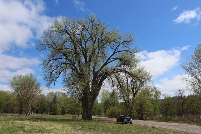 Een Reusachtige Cottonwood-Boom en een Zwarte Pick-up royalty-vrije stock foto