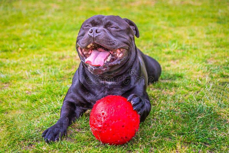 Een reusachtige glimlach met open mond van verrukking en geluk op een zwarte Staffordshire Bull terrier hond royalty-vrije stock afbeelding
