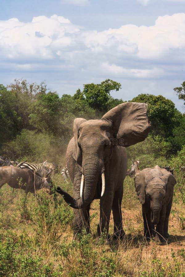 Een reusachtige olifant en een close-up van de babyolifant in de savanne Masai Mara, Kenia royalty-vrije stock afbeelding