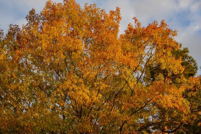 Een reusachtige rode eiken boomquercus rubra met gouden bladeren bij zonsondergang tegen een blauwe hemel Beweging veroorzakende  stock afbeeldingen