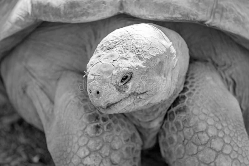 Een Reuze Oude Schildpad van de Galapagos royalty-vrije stock fotografie
