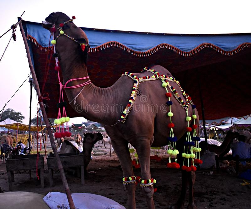 Een Reuzekameel in Faisalabad Pakistan klaar voor Eid Fest royalty-vrije stock foto's