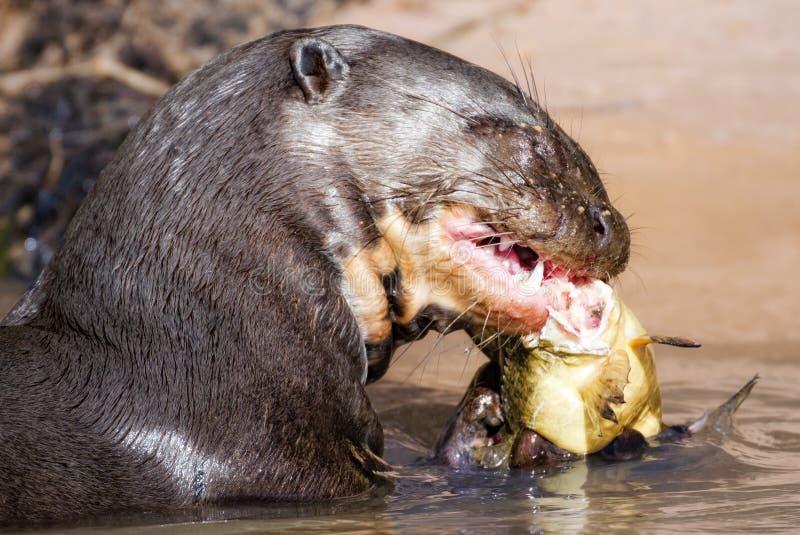 Een reuzeOtter die zijn lunch eten stock fotografie