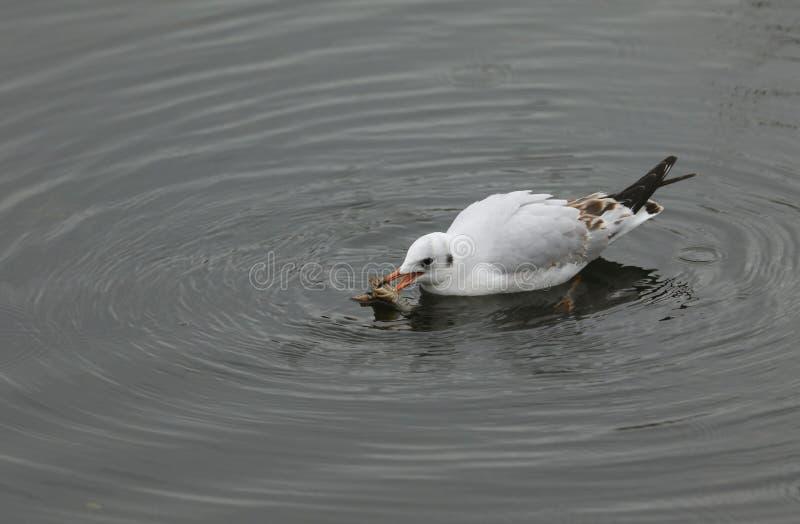 Een ridibundus die vrij Met zwarte kop van Meeuwchroicocephalus in een meer met een rivierkreeft in zijn bek zwemmen die het net  royalty-vrije stock foto's