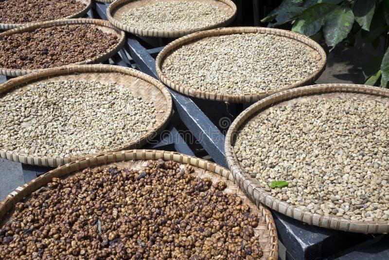 Een rij van de platen met ruwe bonen van luwakkoffie op de houten lijst droogt Kopi luwak of de civetkoffie zijn één van wereld`  royalty-vrije stock foto