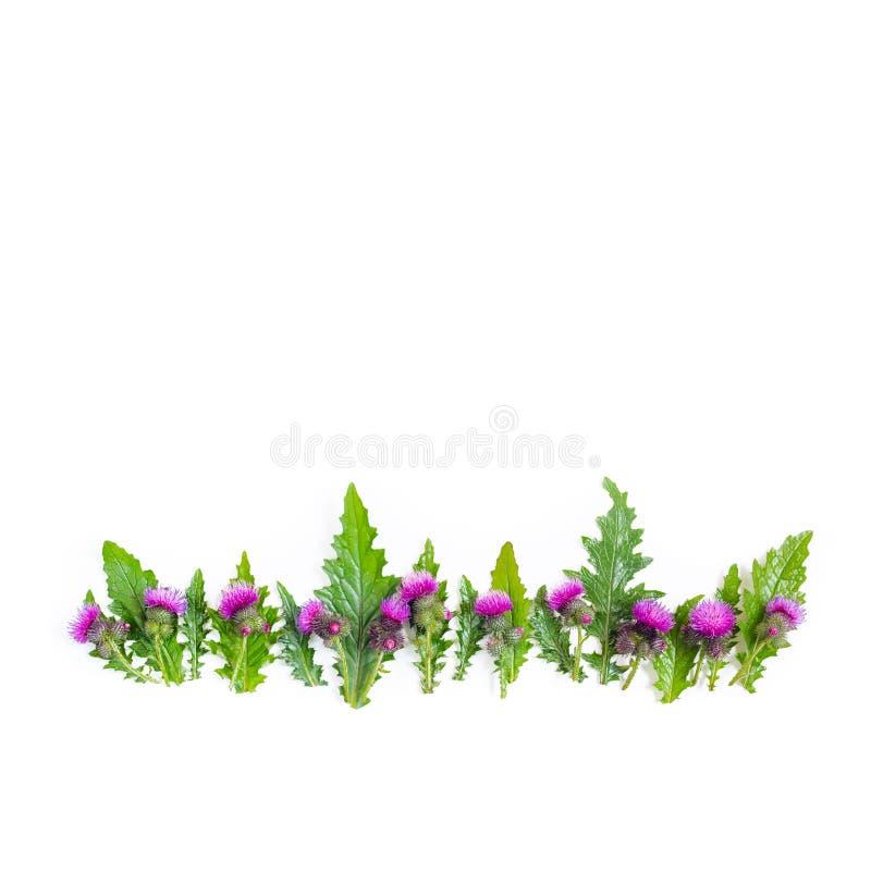 Een rij van groene bladeren en doornen van Distel, die met gevoelige roze en karmozijnrode bloemen bloeien Vlak leg, hoogste meni stock afbeelding