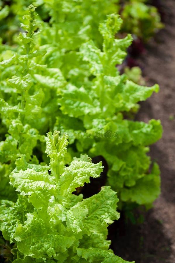 Een rij van groene bladsla die naar zaad beginnen te gaan stock foto
