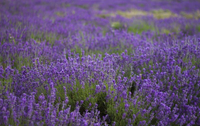 Een rij van lavendel 2 royalty-vrije stock foto's