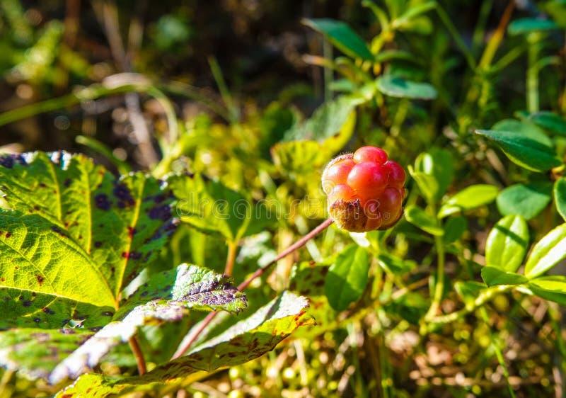 Een rijp oranje bergbraambessenfruit Seizoen: De zomer Plaats: Westelijke Siberische taiga royalty-vrije stock foto