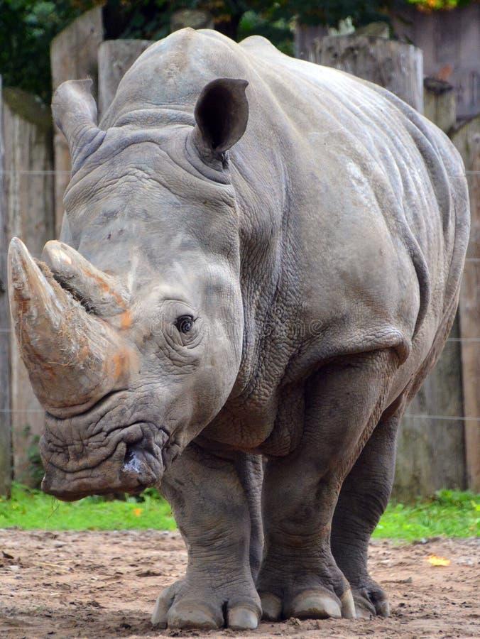 Een rinoceros stock foto's
