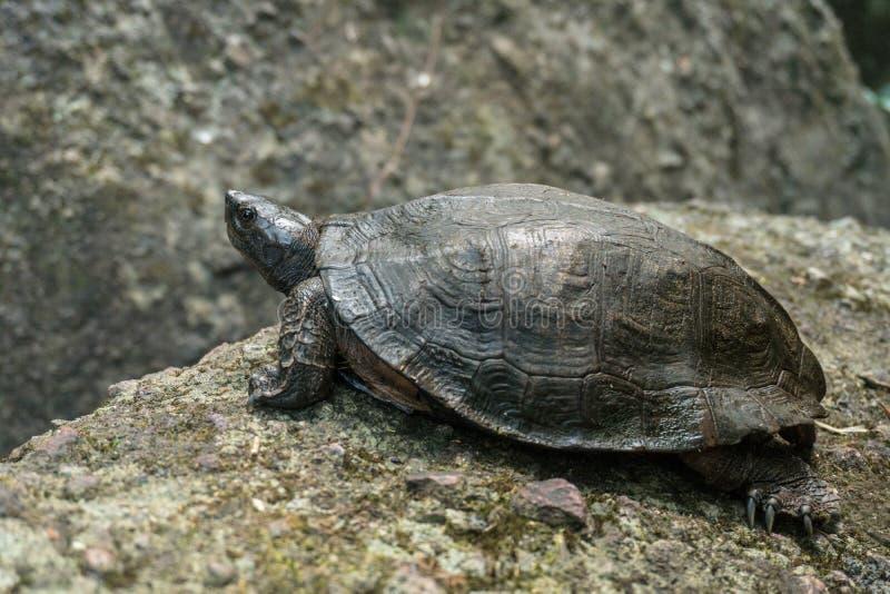 Een Rivierschildpad op een steen in natuurlijk regenwoud Nationaal Park Khao Yai, Thailand royalty-vrije stock foto