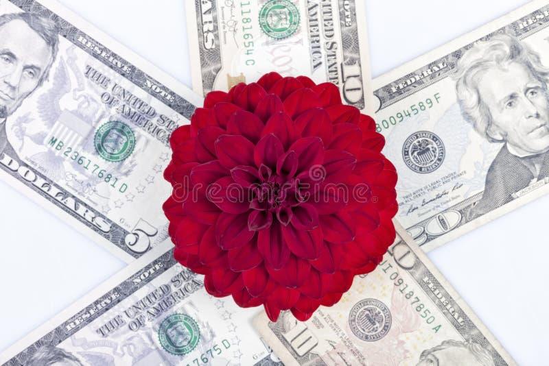 Een rode bloem van Dalia bovenop geïsoleerde dollarrekeningen royalty-vrije stock foto