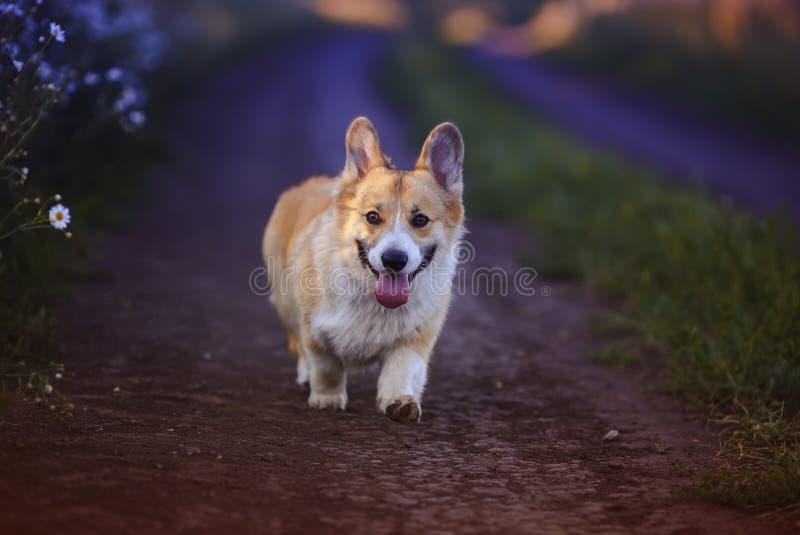 Een rode Corgi-hond loopt over de weg in het dorp omringd door witte Daisy-bloemen op een zonnige vrije zomeravond royalty-vrije stock fotografie